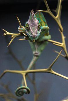 """""""the chameleon"""""""