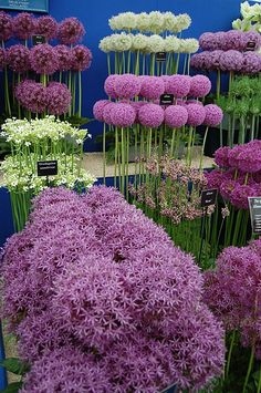 selection of cultivated alliums ~ we have a lot of these because they are dear resistant, being a member of the onion family. Also love the colors!