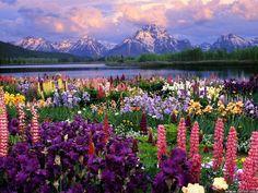 Grand Teton and Wild Flowers, Wyoming