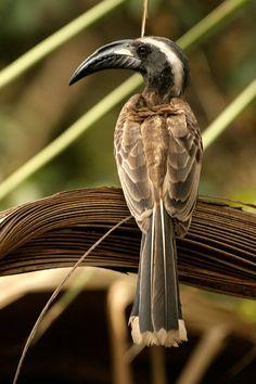 African Grey Hornbill: sub-Saharan Africa & Arabia. photo by obasanmi Gambia, 2007