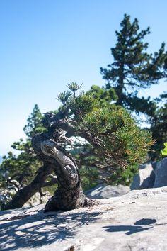 Inspiration - montagne noire pin - Pinus uncinata |