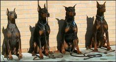 Doberman dogs