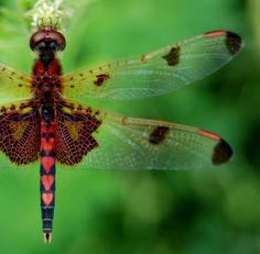 scenes from Sandy Bottom; Calico pennant dragonfly (Celithemis elisa ♂), in Newport News, Virginia. (where I live :)