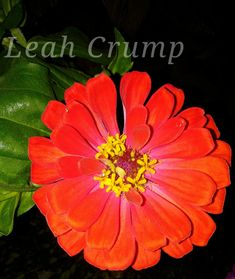 Zinnia Plants, Planting Flowers, Zinnias, Flowers, Plant Pictures
