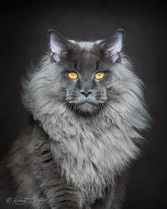 "The Maine Coon is the single largest breed of cat that's been domesticated. Any larger and you'd probably be worried about getting to your fridge with your life intact. Robert Siljka sees Maine Coons as majestic beasts. He wanted to share their beauty with the world. ""My passions are cats and photog"