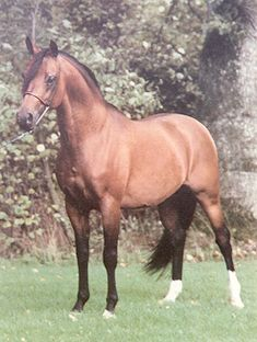 Probat is one of the most famous Arabian stallions in the world today. He was born at Blommeröd Arabstuteri in Höör, Sweden in 1975. In the years 1981 - 1984 and 1986 Probat was on lease to Poland in exchange for firstly Algomej and later Partner. Probat was used to reinforce the Comet - Kuhailan Afas or.Ar. line in Poland and did it successfully. Probat was later exported to the United States where he has continued his excellent breeding career.