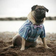 Pugs like plaid shirts and bow ties