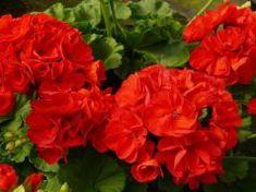 15 Geranium essential oil benefits for skin, hair, and health Geranium Plant, Geranium Flower, Types Of Flowers, Love Flowers, Beautiful Flowers, Flowers Perennials, Planting Flowers, Flower Seeds, Flower Pots