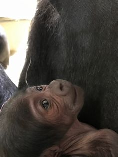 baby gorilla pictures - Google Search