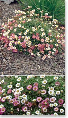 Plants Management Australia Pty Ltd Erigeron 'Spindrift' - Fullsun \/ part shade - 20cmH x 50cm W - compact NOT invasive