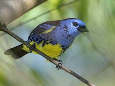 saíra de bando ou saíra turquesa_tangara mexicana  Brazilian Birds