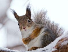 Red squirrel by ~sersem07 on deviantART