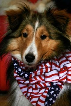 This is EXACTLY what one of our shelties Lassie looked like! SHe was an AWESOME dog too..