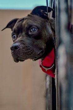 Pitbulls, Dogs, Animals, Image, Pit Bulls, Animaux, Pitt Bulls, Doggies, Animal