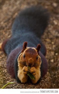 The Giant Purple Indian Squirrel.