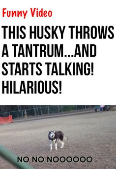 I can't believe what this siberian husky does...just too funny! #dogs #huskies #compartirvideos #funnyvideos