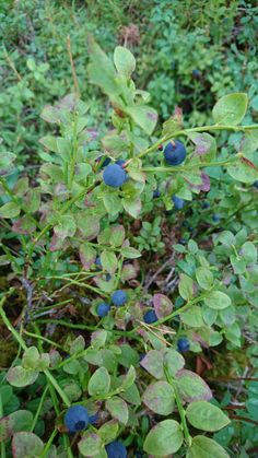 Blueberries improve e. skin elasticity and the blood flow into capillaries. Skin Elasticity, Blueberries, Flow, Herbs, Fruit, Arctic, Berry, Blueberry, Herb