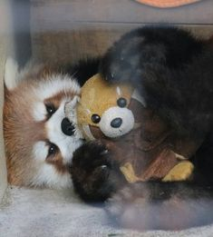 A red panda with a stuffed red panda 😍 Red Panda Cute, Panda Love, Cute Baby Animals, Animals And Pets, Animal Pictures, Cute Pictures, Panda Day, Otters Cute, Baby Puppies