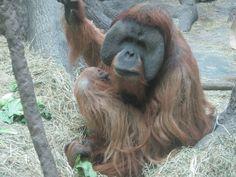 St. Louis Zoo St Louis Zoo, Orangutan, Saints, Spaces, Live, Awesome, Animales