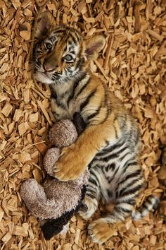 baby tiger holding stuffed animal