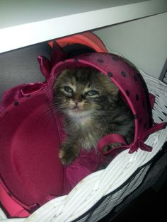 My #kitten has a #funny #hat ;D #chat #chaton