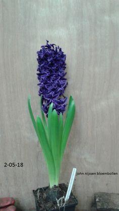 veelbelovende blauwe hyacint deze is geschikt voor de snij en de pot