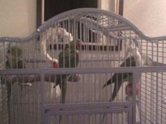 3 parakeets/parrots i have 3 female alexandriennes for sale in Kilmarnock. Used second hand Birds for sale in Kilmarnock. 3 parakeets/parrots i have 3 female alexandriennes available on car boot sale in Kilmarnock. Free ads on CarBootSaleScotland online car boot sale in Kilmarnock - 11169