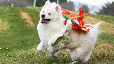 I'm shocked to see that there's not more dogs dressed up as Okami's Amaterasu, given that the main character is a dog and all. If I had a samoyed, I'd definitely go for this. Though not entirely sure how everything is staying on...    I'm trying to see if anyone has successfully dressed their dog up as vulpix, ninetails, flareon from Pokemon or kyuubi from Naruto, but alas, there's also a lack of doggy cultural referencing from those sources. :(