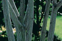 Acer davidii serpentine Snake bark maple