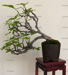 fig carica bonsai | Photo Fig tree bonsai Image #770516