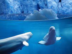 Beluga whales - love :)