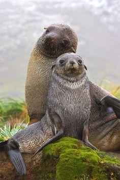We zijn er klaar voor maak maar een mooie foto. seals from Fortuna Bay, South Georgia(photo: Australian Geographic)