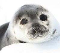 Take Action: Boycott Canadian Seafood to Save Seals