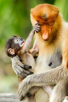 Proboscis Monkey mother with her baby in Island of Borneo_ Malaysia