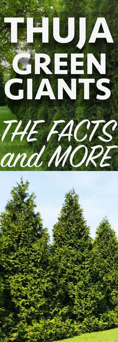 Thuja Green Giants are fast growing evergreens that are perfect for living privacy fences. Learn all about them and how to take care of them here! Living Privacy Fences, Privacy Trees, Privacy Plants, Privacy Landscaping, Living Fence, Home Landscaping, Privacy Hedge, Yard Privacy, Fast Growing Evergreens