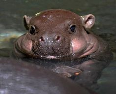 From Getty: A baby Pygmy hippopotamus takes a bath in an enclosure at Tokyo's Ueno Zoo on July The baby hippo was born on June 22 at the zoo. AFP PHOTO / KAZUHIRO NOGI Just adorable! Cute Hippo, Cute Baby Animals, Animals And Pets, Funny Animals, Wild Animals, Chubby Babies, Cute Babies, Dangerous Animals, Tier Fotos