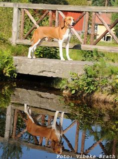 ecdc437ba3488 24 meilleures images du tableau Chien Courant de Hygen, Hygenhund ...