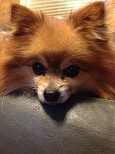 """My mini polmeranian George."" - Furry Friends Photo Contest #dogs #lucktastic"