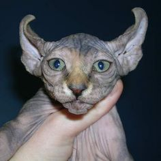 """Cat breeders Kristen Leedom and Karen Nelson were the brilliant minds that came up with the Elf Cat - a hybrid consisting of the American Curl and the Sphynx. These adorable kitties have ears that curl back into """"points"""" much like their elvin affiliates."""