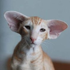 Cute Cats And Kittens, Cool Cats, Kittens Cutest, Pretty Cats, Beautiful Cats, Dobby Cat, Oriental Cat Breeds, Burmese Kittens, Cat Races