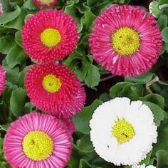 Precious Tips for Outdoor Gardens - Modern Outdoor Gardens, Flowers, Bellis Perennis, Modern Garden, Daisy, Outdoor, Perennials, Plants