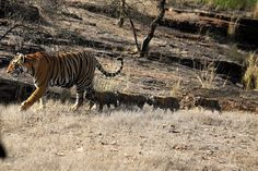 Ranthambore National Park in Rajasthan    Jungle Safari is offered twice a day in Ranthambore, in morning (6.30 AM-10.00 AM) and afternoon (2.30 PM -6.00 PM) in the month of October, one of the best months to enjoy wildlife spotting in Ranthambore. A nature lover can enjoy the attractive surrounding and an adventure enthusiast can try out some thrilling adventures. Jeep safari is one of the best options to travel in and around the national park. Canter safari is also an option to explore