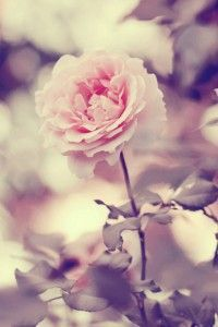 Vintage Photography Pictures, Photos, Images, and Pics for . Pink Rose Pictures, Pretty Pictures, Inspiring Pictures, Pretty Photos, Rose Photography, Vintage Photography, Vintage Flowers, Vintage Pink, Vintage Style