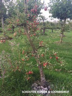 Oude appelboom Elstar uit het assortiment van Schouten Bomen & Loonbedrijf