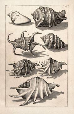 beautiful shell drawings