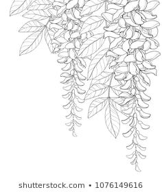 Vector corner bouquet of outline Wisteria or Wistaria flower bunch bud and leaf in black isolated on white background. Blossom climbing plant Wisteria in contour for spring design or coloring book. Wall Drawing, Plant Drawing, Illustration Botanique, Botanical Illustration, Flower Outline, Flower Art, Doodle Wall, Art Mur, Quilled Creations