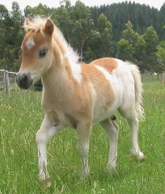 Welcome to Suncrest White Galloway Cattle and Miniature Horse Studs Baby Horses, Horses And Dogs, Show Horses, Mini Horses, Cute Baby Animals, Animals And Pets, Funny Animals, Pretty Horses, Horse Love