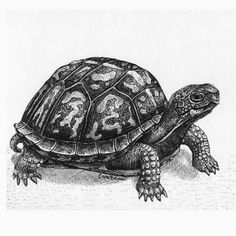 sea turtle drawings | ... the sea turtle came out to draw ...