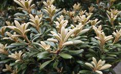Silbrig bereift ist der frische Austrieb dieses Yakushimanum-Rhododendrons und setzt sich kontrastreich von den dunkelgrünen Blättern des Vorjahres ab.