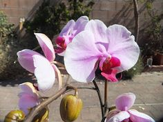 Phaleanopsis orchids are very beautiful. It is also one of the hardest orchids for a beginner to grow...